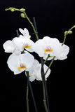 Biała orchidea Zdjęcie Stock