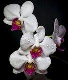 Biała orchidea kwitnie z wodnymi kroplami na czarnym backround zdjęcie royalty free