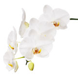 Biała orchidea odizolowywająca na białym tle. obrazy royalty free