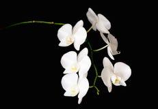 Biała orchidei gałąź zdjęcia royalty free