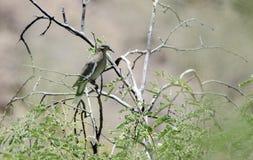 Biała Oskrzydlona gołąbka, Kolosalny jamy góry park, Arizona zdjęcia royalty free