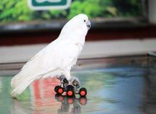 Biała papuga rollerblading zdjęcia royalty free