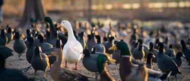 Biała Pekin kaczka w tłumu Mallards Fotografia Stock