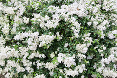 Biała Peper kwiatu tekstura Fotografia Stock