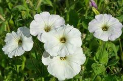 Biała petunia kwitnie zbliżenie Obraz Stock