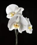 Biała piękna orchidea Zdjęcie Stock