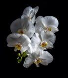 Biała piękna orchidea Zdjęcie Royalty Free