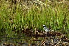 Biała pliszka, Motacilla albumy na brzeg jezioro obraz stock