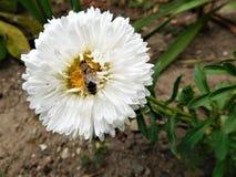Biała pszczoła i kwiat Fotografia Royalty Free