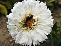Biała pszczoła i kwiat Zdjęcia Royalty Free