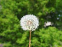 Biała puszysta dandelion głowa na w górę zielonego lasowego tła obrazy royalty free