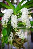 Biała Rhynchostylis orchidea zdjęcie royalty free