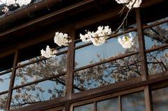 Biała Sakura gałąź z cieniem odbijał od okno Fotografia Stock