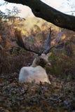 Biała samiec raniąca od bekowiska odzyskuje oddaloną formę stado zdjęcie stock