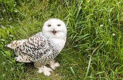 Biała sowa Obrazy Stock