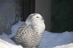 Biała sowa w Alaska zoo fotografia royalty free