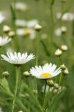 Biała stokrotka kwitnie na polu zdjęcia royalty free