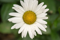 Biała stokrotka - Leucanthemum vulgare Zdjęcia Stock