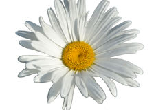Biała stokrotka odizolowywająca na białym tle Fotografia Stock