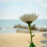 Biała stokrotka w plażowym piasku Obraz Royalty Free