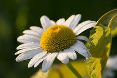 Biała stokrotka z ranek rosą Obraz Royalty Free