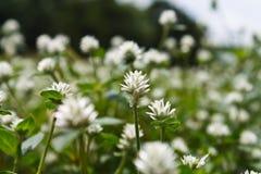 Biała trawa kwiatu łąka Obrazy Royalty Free
