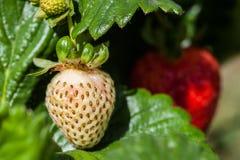 Biała truskawka na zamazanym tle fotografia royalty free