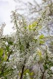 Biała wiśnia kwitnie na wiosna czasie Zdjęcie Stock