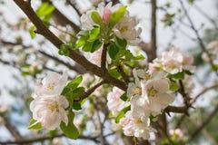 Biała wiśnia kwitnie na wiosna czasie Zdjęcia Royalty Free