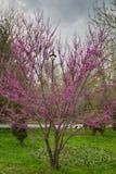 Biała wiśnia kwitnie na wiosna czasie Obrazy Royalty Free