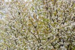 Biała wiśnia kwitnie na wiosna czasie Fotografia Royalty Free