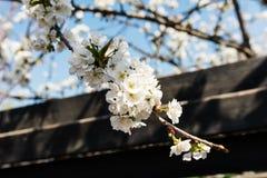 Biała wiśnia kwitnie nad błękita jasnego niebem Obraz Stock