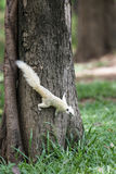 Biała wiewiórka Zdjęcia Stock