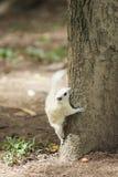 Biała wiewiórka Fotografia Stock