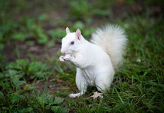 Biała wiewiórka Zdjęcie Stock
