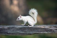 Biała wiewiórka na drewnianym poręczu Zdjęcia Stock