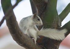 Biała wiewiórka na drzewie Zdjęcia Royalty Free