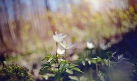 Biała wiosna kwitnie dzikiego anemon zdjęcia royalty free