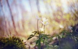Biała wiosna kwitnie dzikiego anemon zdjęcie royalty free