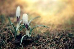 Biała wiosna kwitnie w słońcu Zdjęcie Stock