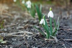 Biała wiosny śnieżyczka kwitnie kwitnienie, kopii przestrzeń obrazy stock