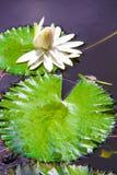 Biała wodna leluja na małym jeziorze w Seyshelles Obraz Royalty Free