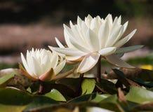 Biała wodna leluja w ogrodowym stawie zdjęcie royalty free