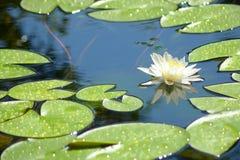 Biała wodna leluja w stawie zdjęcia stock