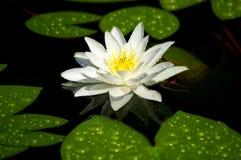 Biała wodna leluja w stawie obraz stock