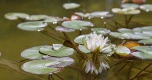Biała wodna leluja z odbiciem obrazy stock