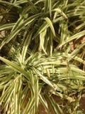 Biała zielona roślina w ogródzie Fotografia Stock