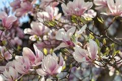Białawi różowi kwiaty spodeczek magnolia obraz stock