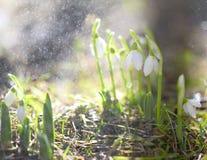 Białe śnieżyczki w wiosen raindrops zdjęcie stock