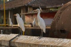 Białe Chińskie czaple na ścianie Ściana z śladami ptasie ściółki Fotografia Stock